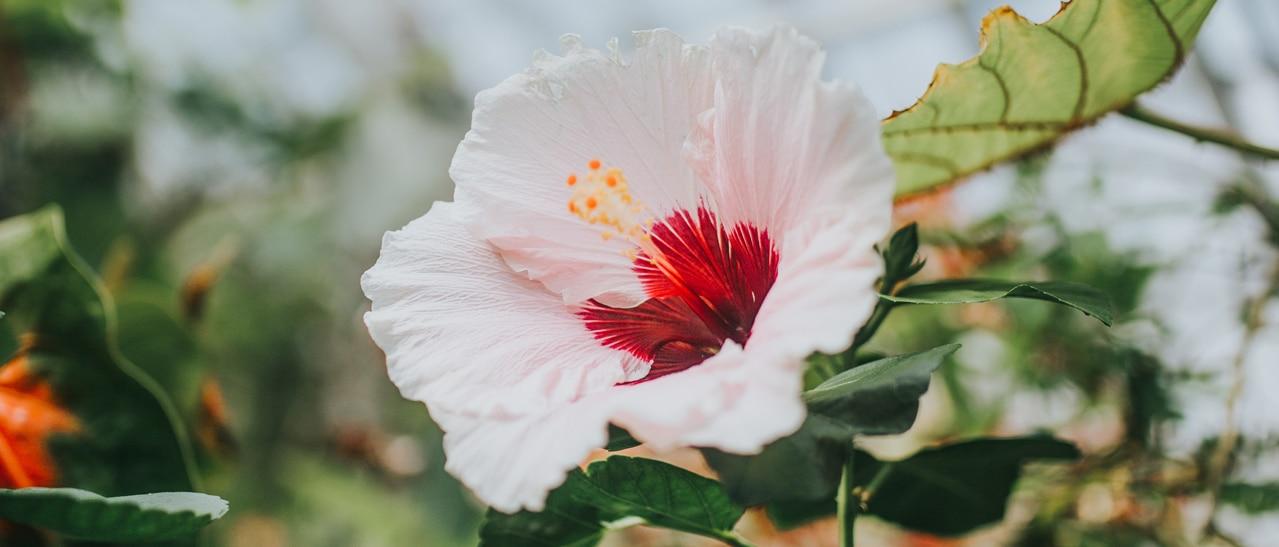 Hibiskus im Wintergarten