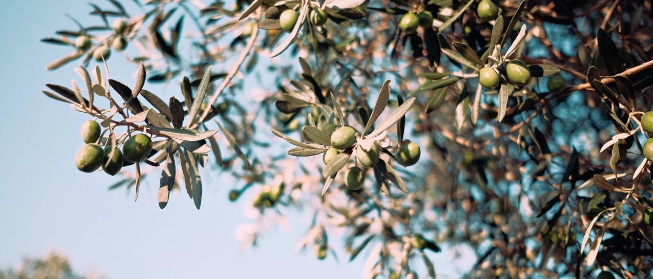 Olivenbaum im Wintergarten