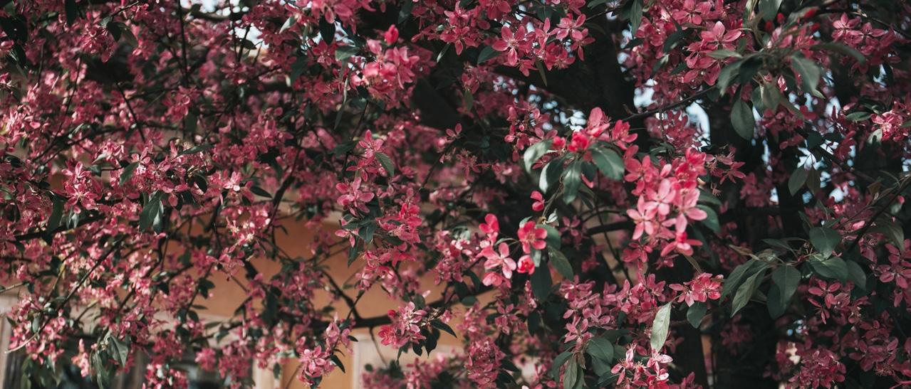 Pflanzen Oleander