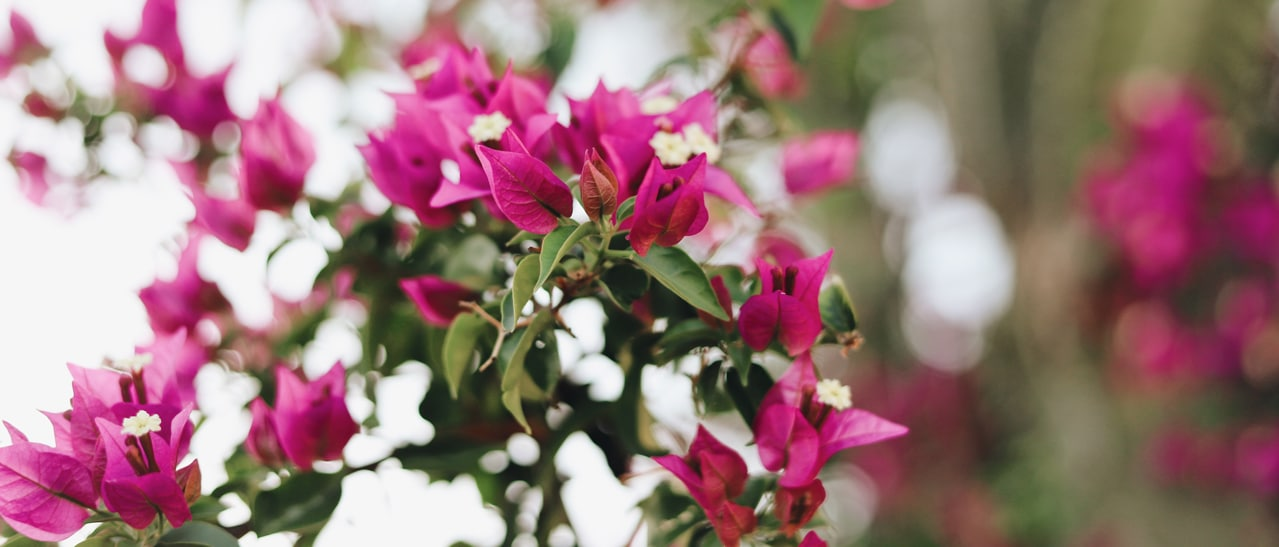 Wintergarten Pflanzen Bougainvillea