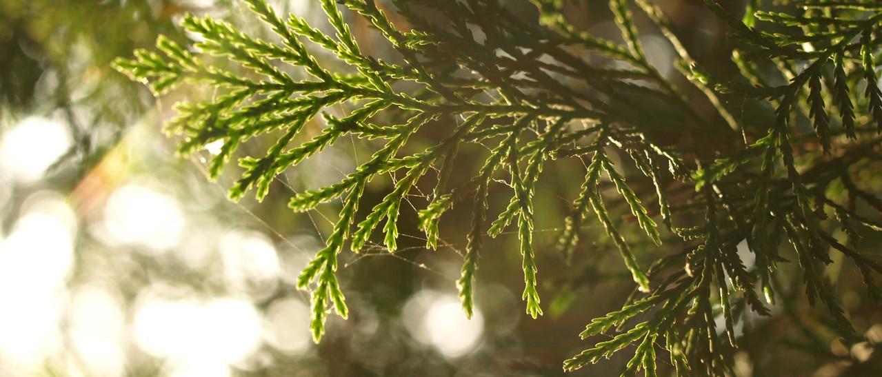 Zypressen im Wintergarten